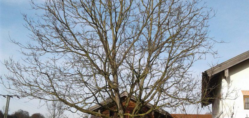 Kroneneinkürzung Walnussbaum