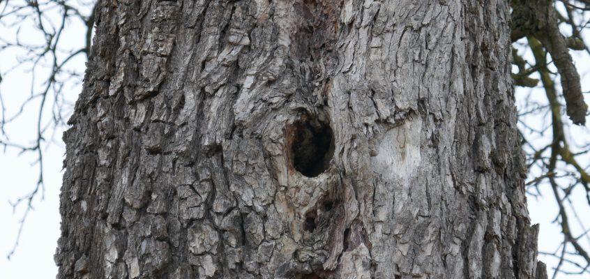 Höhlungen in Bäumen