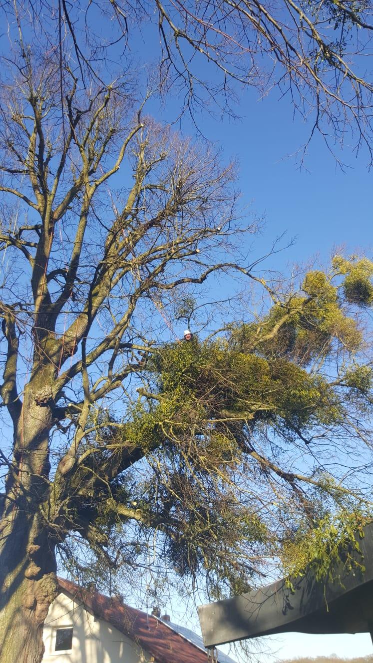 Fremdbewuchs an Bäumen entfernen